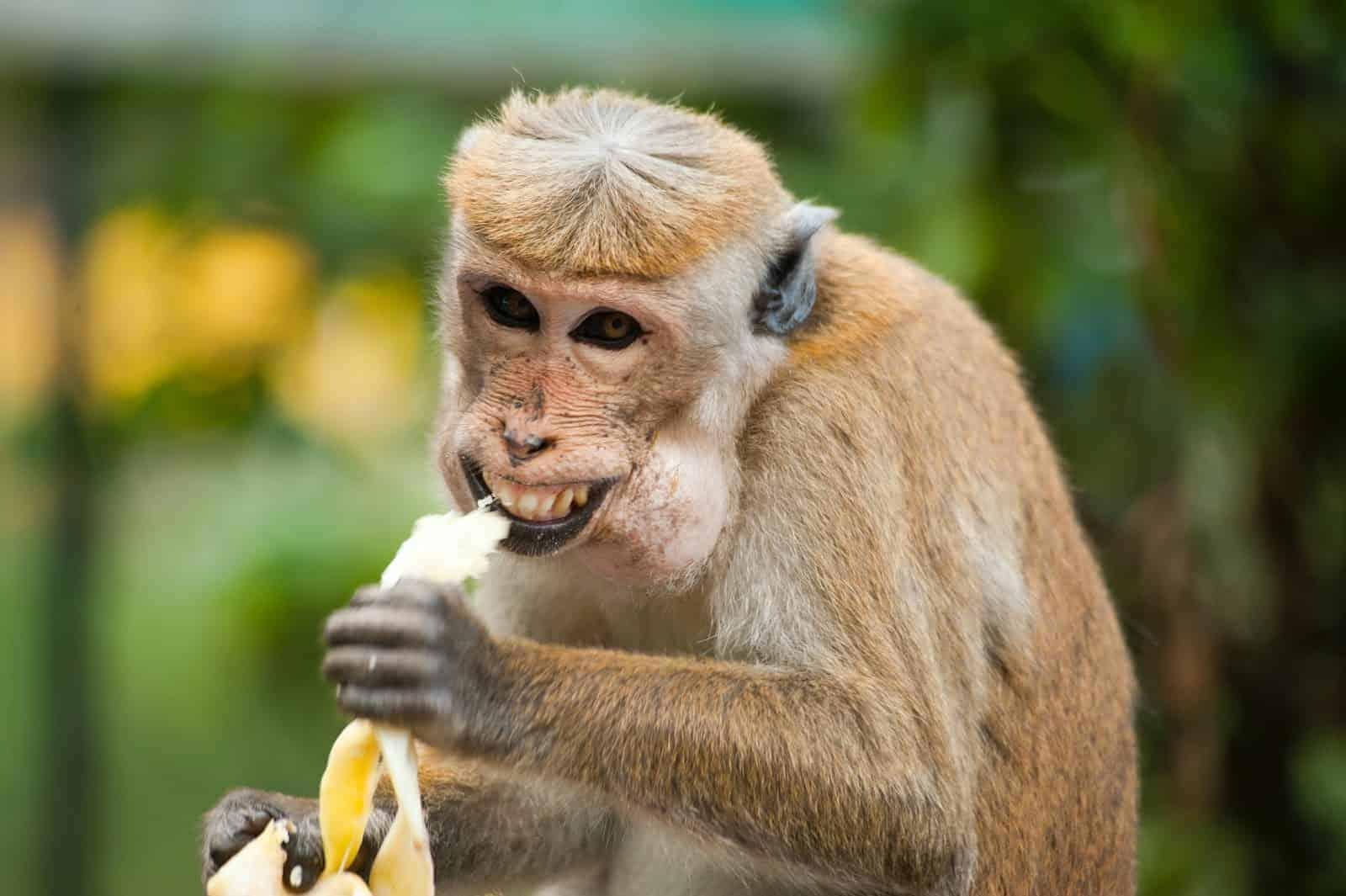 Monkey eating a banana.