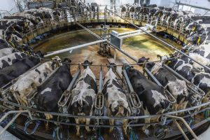Cows in a factory farm setting