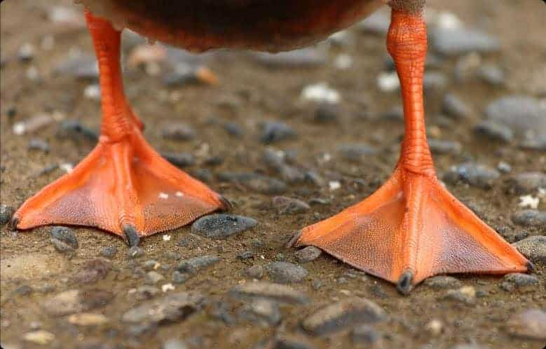 Duck with straight feet