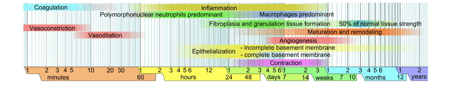 Image depicting the phases of healing to illustrate whether or not to get a cortisone injection