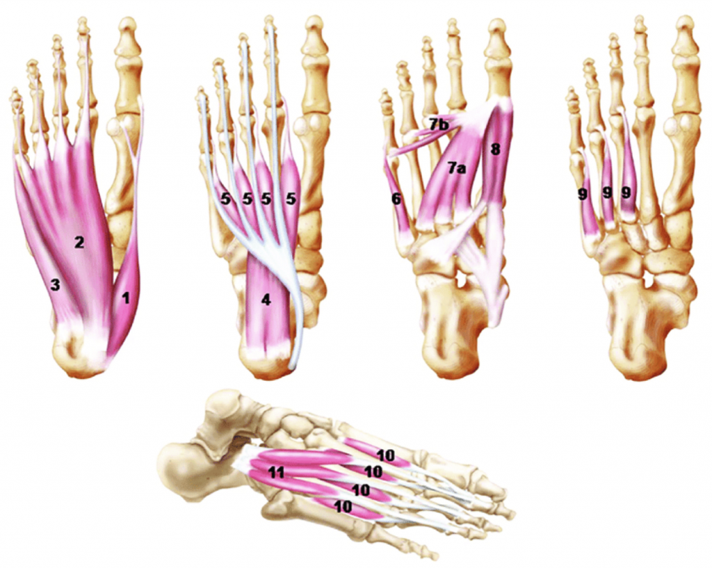 Image of the foot musculature to illustrate why you don't need orthotics